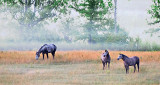 Three Grey Horses P1090095-6