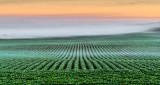 Field Into Fog At Sunrise P1090113