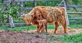 Cow & Calf DSCF14421