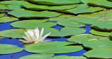 Water Lily DSCF14523-5