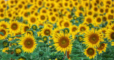 Field Of Sunflowers P1090561