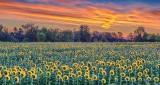 Sunflower Field At Sunrise P1090648-53