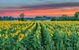 Sunflower Field At Sunrise P1090690-5