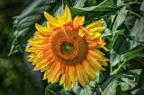 Sunflower DSCF14513