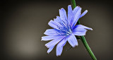 Chicory Flower DSCF14944