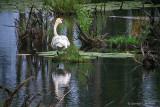 Swamp Swan DSCF15202