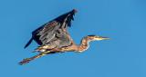 Heron In Flight DSCF21860