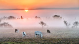 Sunrise Over Ground Fog And Cows P1150145-51
