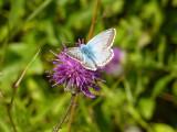 Chalkhill blue23