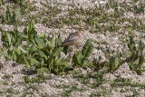 Stone curlew_4520