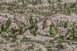 Stone curlew_4523