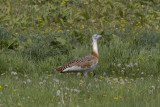 Great Bustard_1