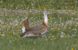 Great Bustard_2
