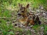 Roe deer fawn 268