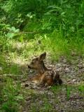 Roe deer fawn 270