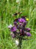 5 spot Burnet moth on Marsh Thistle91