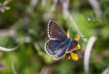 Adonis blue female var_6987