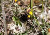 Narrow bordered beefly_6995