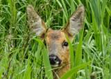 Roe deer 0748