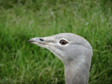 Great Bustard 1093.jpg