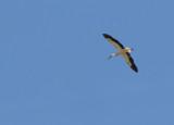 White stork 8832