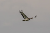 Great Bustard A8884