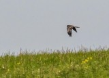 Marsh harrier 8880