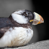 Molting Puffin