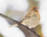 Just Another House Finch