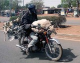 Transport of sheep and chickens on a motorbike, Burkina Faso