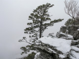 old pine in the snow