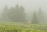 whitetail on a foggy morning