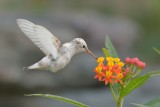 Leucistic Female Anna's Hummingbird