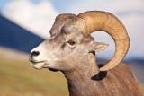 _MG_4000.jpg - Bighorn ram