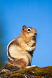 _MG_2324.jpg - Ground squirrel