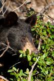 _MG_1769.jpg - Black bear