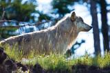 _MG_3171.jpg - Wild wolf