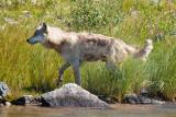 _MG_3327.jpg - Wet wolf