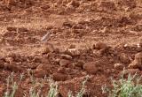 Desert Finch