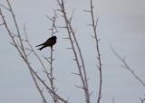 Barn Swallow, dark