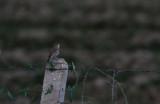 Rufous Scrub Robin
