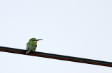 Blue-cheaked Bee-eater