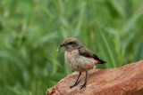 Red-tailed Wheatear, female