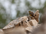 Cinereous Bunting, male