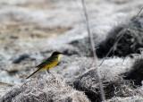 Yellow wagtail, ssp. feldeg