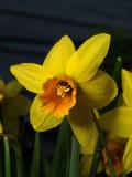 Narcissus 2.jpg