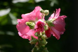 Althea rosea - Hollyhock - Stockrose