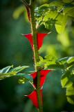 blood thorns