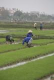 _1949. Rizieres au Nord Est d'Hanoi.jpg