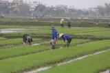 _1950. Rizieres au Nord Est d'Hanoi.jpg